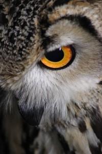 Eye Of Owl